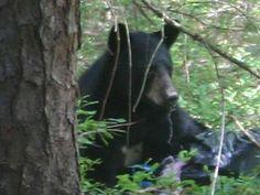 Protests set as N.J. bear hunt nears.