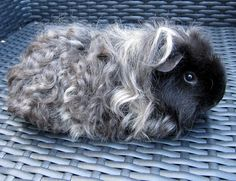This piggy is beautiful   All Things Guinea Pig: Breeds and Varieties