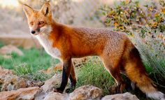 Red Fox      via action for earth - L'Assommoir