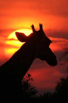 Giraffe silhouette in the sunset. Photo Details: Giraffe (Giraffa camelopardalis) in silhouette against the setting sun. Giraffe Images, Giraffe Pictures, Animal Pictures, Kruger National Park Safari, National Parks, Safari Animals, Cute Animals, Wild Animals, Baby Animals