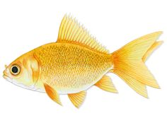 Goldfish - Fantail Vintage Art