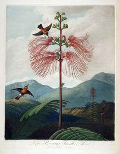 antique english botanical print mimosa pudica by FrenchFrouFrou