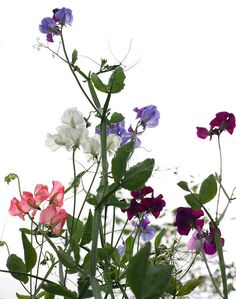 Plant sweet peas by my hobbit house. Little Flowers, Wild Flowers, Beautiful Flowers, Flower Power, Pea Flower, Seed Catalogs, Fruit Painting, Flower Names, Flower Quotes