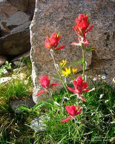 Colorado Indian Paintbrush Wildflower Photo by Julie Magers Soulen