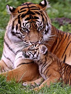 Bengal tiger and cub