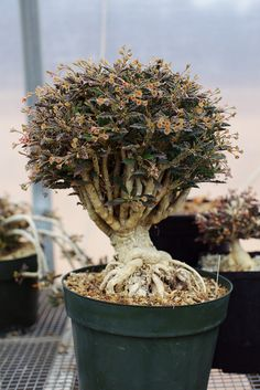 "https://flic.kr/p/9s1WSB | Euphorbia capsaintemariensis | 10"" pot"