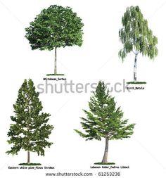 № ~ stock photo : set of four trees isolated against pure white, Whitebeam, Birch, Eastern white pine, lebanon cedar
