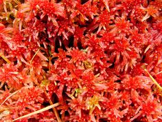 Red bog-moss (Sphagnum capillifolium).
