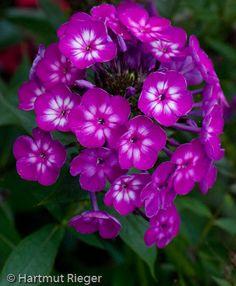 Phlox paniculata 'Katja'®