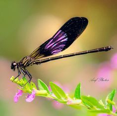 Purple dragonfly or damsel fly. It is a Odonata. Odonata is an order of carnivorous insects, encompassing dragonflies (Anisoptera/Epiprocta) and damselflies (Zygoptera). The word dragonfly is also sometimes used to refer to all Odonata, but odonate is a more correct English name for the group as a whole.
