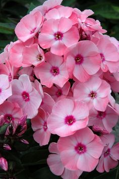 Phlox paniculata Sweet Summer Queen
