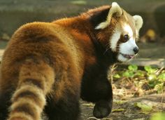 Red Panda dee_troy: (c) dani hernanz