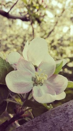 Spring#flower#apple