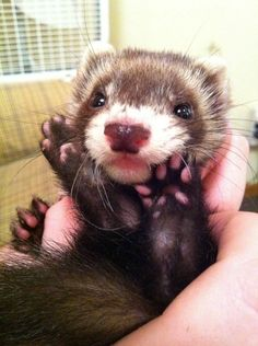 I has feets! My girlfriends cute baby ferret. : aww