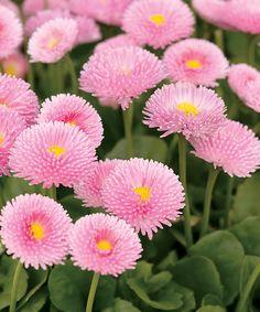 Polar Pink - English Daisy