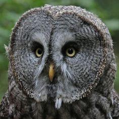 Great Grey Owl Great Grey Owl Great Grey Owl