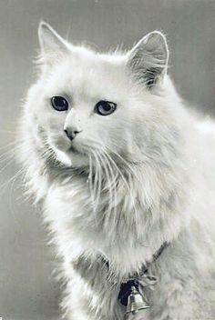 Angora cat (Rotophot, Berlin, 1914)