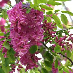 Robinia pseudoacacia 'Casque Rouge' (Pink Cascade False Acacia) - 9L Pot            Beautifully floral, the 'Casque Rouge' is a deciduous tree of medium height and round shape. The light green leaves are overshadowed by the colours of the flowers, but nonetheless stil