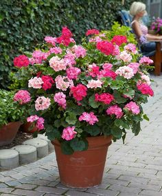Cheap geranium seed, Buy Quality perennial flower seeds directly from China flower seeds Suppliers: 100 PCS/Bag Climbing Plant Univalve Geranium Seeds Perennial Flower Seeds Pelargonium Peltatum Seeds Rare Flower Seeds For Sale Container Flowers, Container Plants, Container Gardening, Rare Flowers, Beautiful Flowers, Flowers Perennials, Planting Flowers, Flower Seeds, Flower Pots