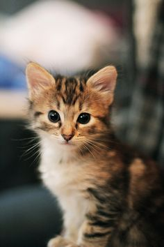 MeiMei (by bumbe) Kittens And Puppies, Cute Cats And Kittens, Kittens Cutest, Animals And Pets, Baby Animals, Funny Animals, Cute Animals, Funny Horses, Pretty Cats