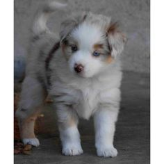 Mini Aussie Puppy! I want one!!!