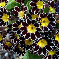 "Polyanthus ""Gold Laced"" Primula - these are cool Unusual Flowers, Amazing Flowers, Beautiful Flowers, Biennial Plants, Black Flowers, Flowers Pics, Flowers Nature, Silk Flowers, Flower Beds"