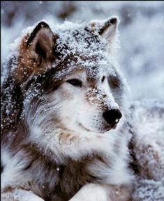 My favorite animal, Wolfs. Such a beautiful animal!