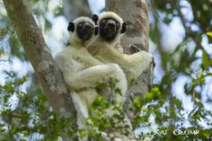 Madagaskar - Insel der Lemuren. Erleben Sie die einmalige Natur Madagaskars auf ausgedehnten Wanderungen und bei Tierbeobachtungen im tropischen Regenwald des Ranomafana Nationalparks, im Andasibe Naturschutzgebiet und im zerklüfteten Sandsteingebirge des Isalo Nationalparks. Zum Abschluss der Reise die traumhaften Insel Nosy Be, mit seinen malerischen Palmen- und Sandstränden, herrlichen Bade- und Schnorchelmöglichkeiten. 24-tägige Erlebnisreise ab / bis Frankfurt.