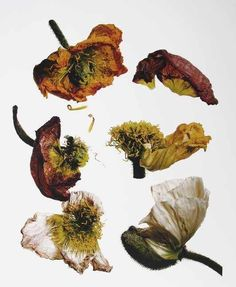 Irving Penn - Iceland Poppy/Papaver nudicaule (F), New York, 2006 I chose this piece as I like the dark and muted colours within the flowers. I also like that the flowers are wilted as it provides great depth to the image. Fruit Photography, Still Life Photography, Irving Penn Flowers, Time Based Art, Decay Art, Growth And Decay, Organic Art, A Level Art, High Art