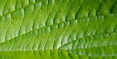 This 4 beauty benefits of betel leaf for women !!!