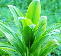 Ti Plant, Snake Plant Care, Plant Diseases, Plant Identification, Colorful Plants, Tropical Flowers, Cut Flowers, House Plants, Hawaiian