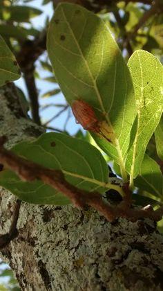 """Aconteceu próximo de uma árvore da """"Fruta do conde"""", quando senti um cheiro desagradável que imediatamente reconheci, era de um pequeno inseto que estava por ali. Olhei atentamente os galhos mais próximos e consegui ver o motivo da defesa do bichinho... ele estava protegendo seus ovos de um possível ataque. Quando sente-se ameaçado, o animal ativa seu mecanismo de defesa para proteger aqueles que estão sobre sua tutela. Decidi fotografar e compartilhar esse minúsculo e tão corajoso bichinho."""