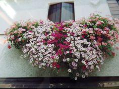 fiori da giardino giardino fiorito : Fiori invernali da balcone: 5 piante che resistono al freddo ...