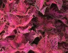 Great Coleus variety--Grape Expectations--Just great in a container!