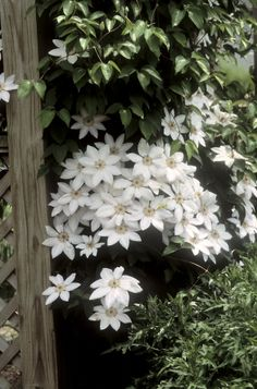 Clematis Henrii-Lovely, perfectly formed, pure white flowers with purple-violet anthers bloom early summer and often again in late summer. The flowers are quite large 6-9 inches in diameter. Early in the season foliage is often bronzy. Combine with climbing rose 'John Cabot' on and arch. Very surprising! Photo Credit Walter's Gardens http://www.alaskahardy.com/profile.php?id=491