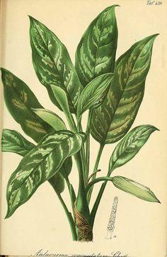 Indoor Plants Names, Plant Species, Botanical Illustration, Houseplants, Shrubs, Plant Leaves, Floral, Biology, Tattoos