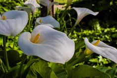 My favorite flowers ( Calla Lily ) #callalily #flowers #spring