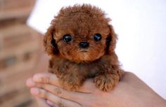 Teacup apricot Maltipoo...  the AWWW! kind of dog. by Hriliu