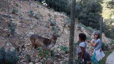 Les daims, parc animalier de Casteil