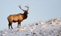 A bull elk in Wind Cave National Park. Photo by Dan Alfson.
