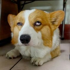 This corgi makes faces like me 13 year old. lol