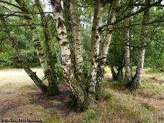 betula pendula | Silver Birch Betula pendula – One With Nature