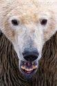 Polar-Bear-Ursus-maritimus-ours-blanc-CDODDS_16I5814
