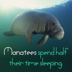 I have a new favorite animal that I wish I could mimic.  Fact about Manatees (sea cows)