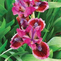 100 Color Iris Seeds Hot Selling Popular Perennial por FancyGarden