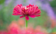Kwiat, Cynia, Makro