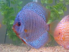 discus fish photos most recent | Discus by happysnapphoto
