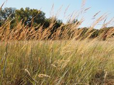 Sorghastrum nutans (Indiangrass) #28761