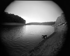 Mosby, the Weimaraner, in for an evening swim. 8x10 film photograph. Maryland film photographer.