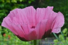 A side view of Papaver orientale 'Patty's Plum' the paper like petals are entrancing